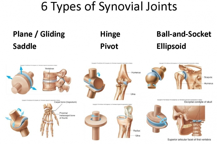 types_of_joints_in_the_human_body